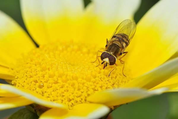 食蚜蠅 (27).jpg
