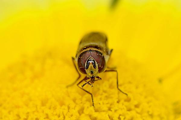 食蚜蠅 (28).jpg