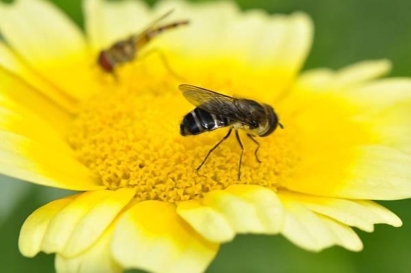 食蚜蠅 (31).JPG