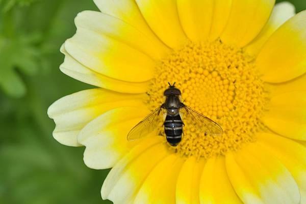 食蚜蠅 (33).JPG