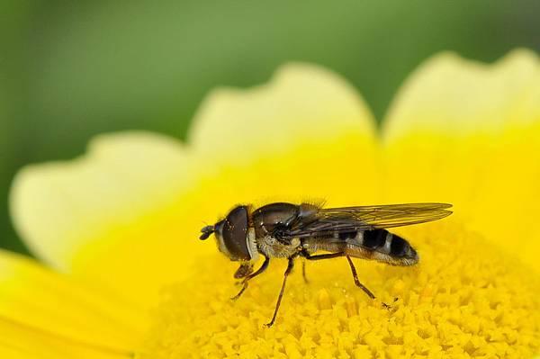 食蚜蠅 (35).jpg