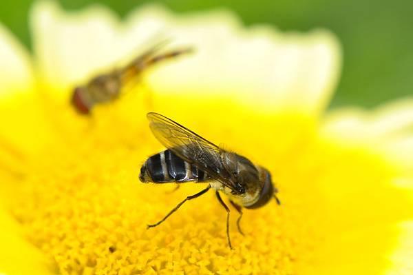 食蚜蠅 (36).jpg