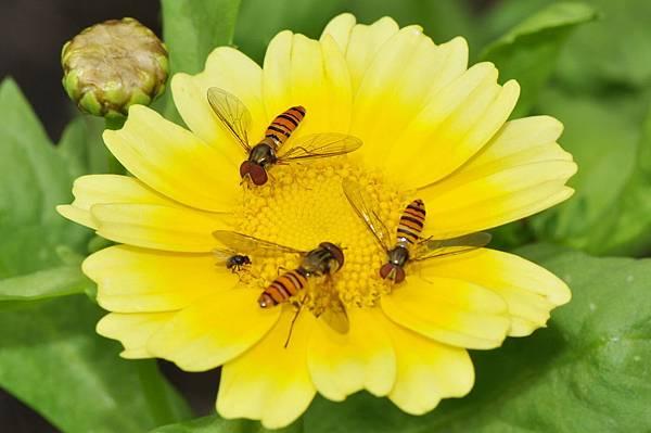 食蚜蠅 (38).jpg