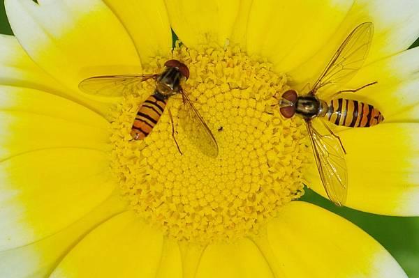 食蚜蠅 (39).jpg