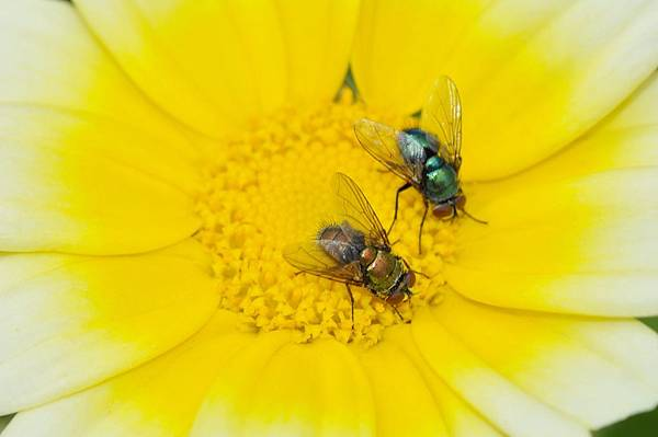 食蚜蠅 (43).jpg