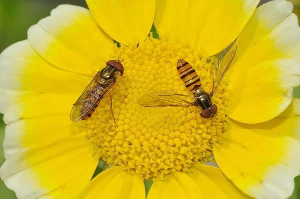 食蚜蠅 (44).jpg