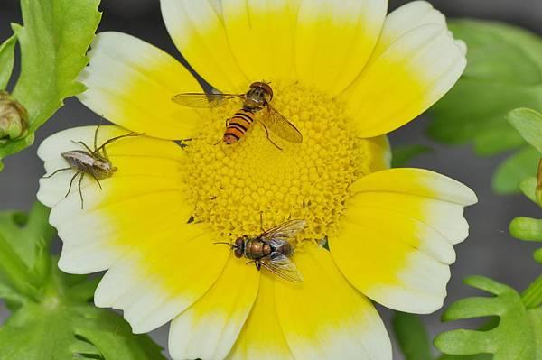 食蚜蠅 (45).jpg