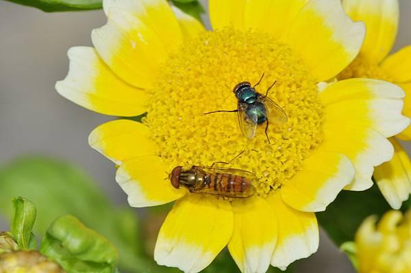 食蚜蠅 (46).jpg