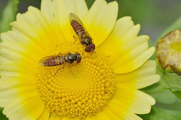 食蚜蠅 (48).jpg
