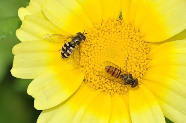 食蚜蠅 (49).jpg