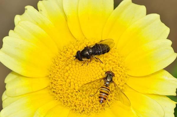 食蚜蠅 (50).jpg