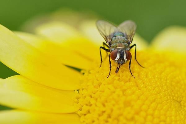 食蚜蠅 (52).jpg