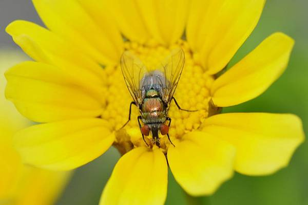 食蚜蠅 (53).jpg