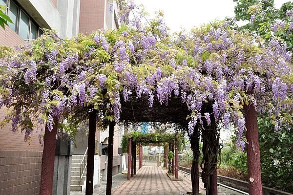 新豐鄉公所裏面的紫藤花 (3).jpg