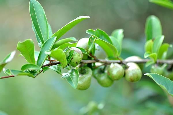 茶籽 (1).JPG