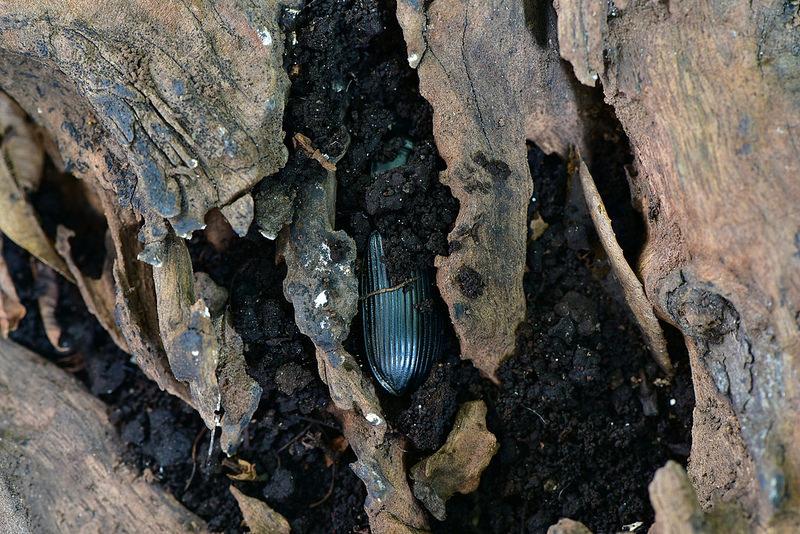 大葫蘆步行蟲 (8)