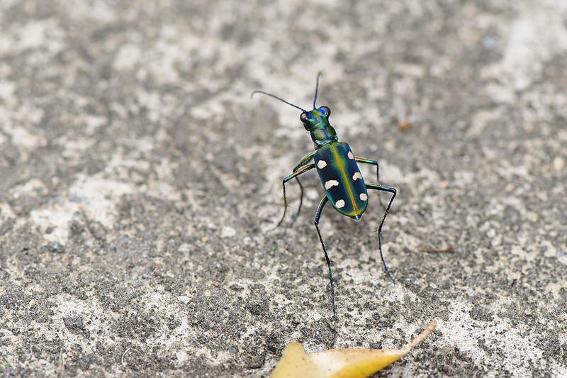 八星虎甲蟲 (2)