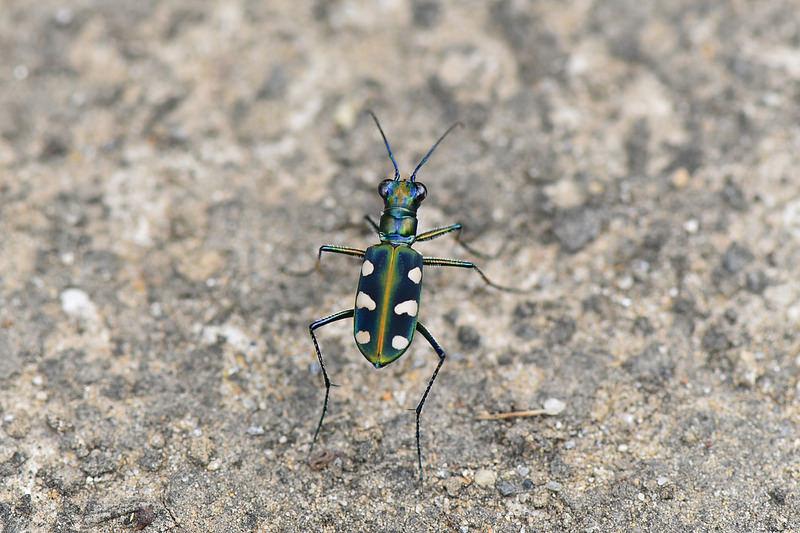 八星虎甲蟲 (3)