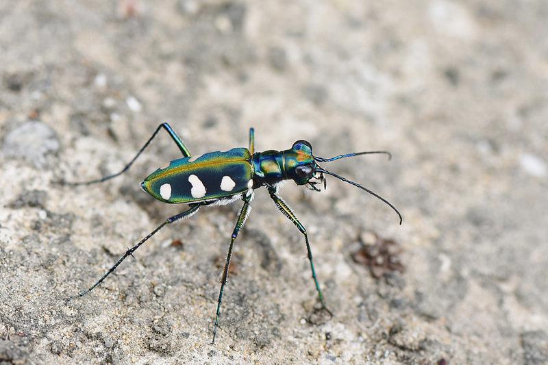 八星虎甲蟲 (4)