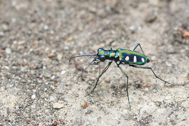 八星虎甲蟲 (7)