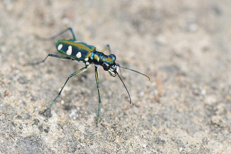 八星虎甲蟲 (5)