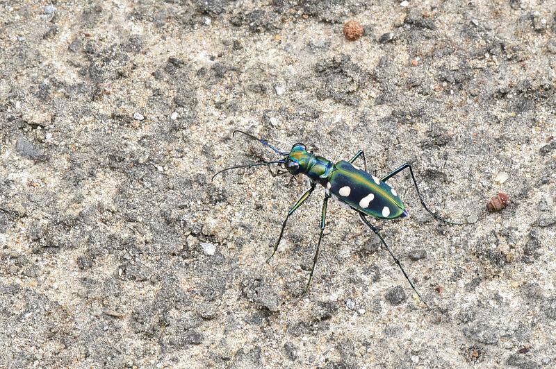 八星虎甲蟲 (8)