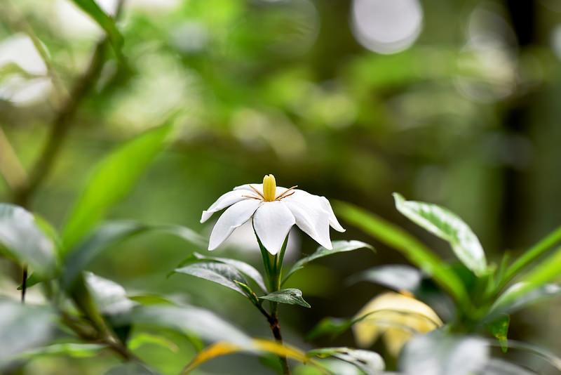 山黃梔~單瓣梔子花
