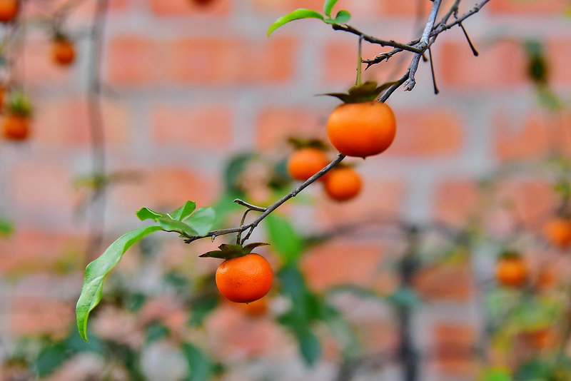 姬柿~(老鴨柿)