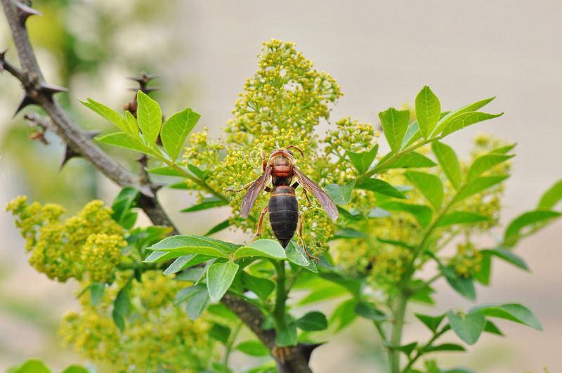 花椒 (1)