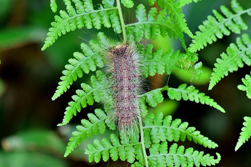 木毒蛾幼蟲
