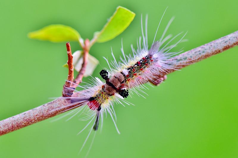 基斑毒蛾之幼蟲