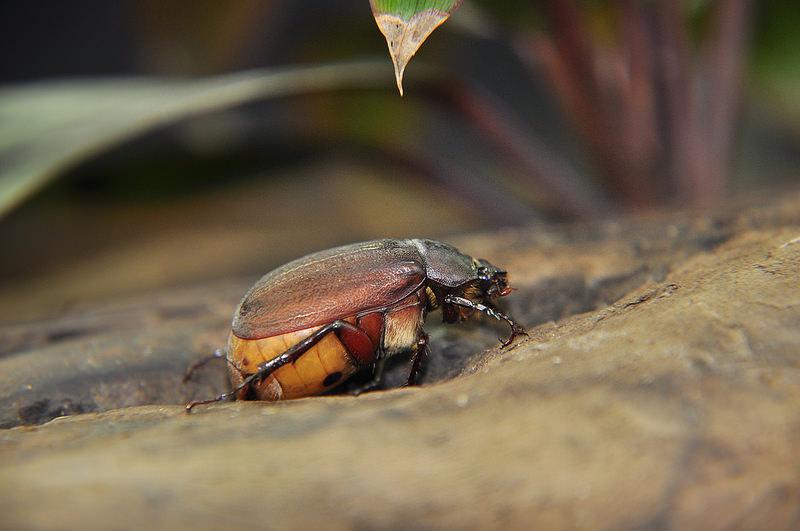 台灣巨黑金龜