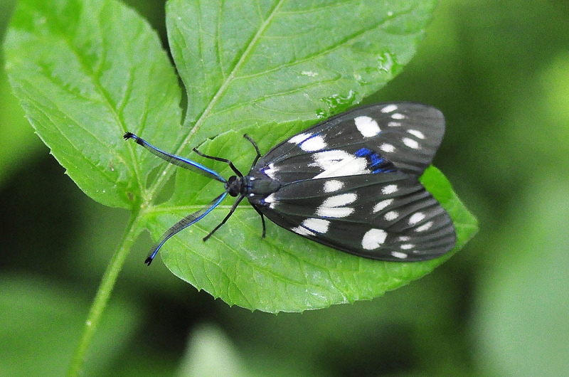 蓬萊茶斑蛾 (8)