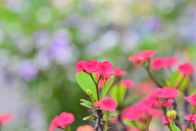 麒麟花 (1)