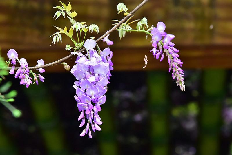 紫藤 (14)