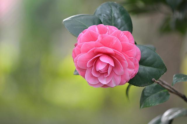 義民廟茶花 (7)