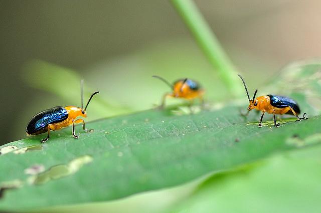 藍翅細頸金花蟲 (1)