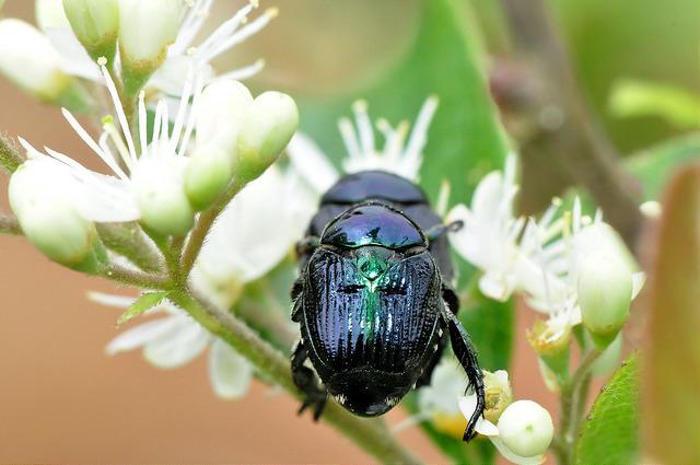 藍豆金龜 (25)
