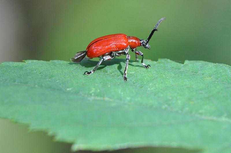 長頸金花蟲 (1)