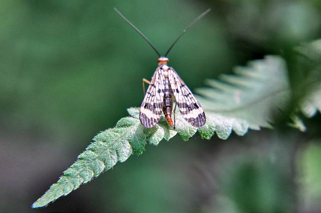 斑翅蠍蛉 (1)