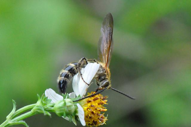姬黃帶土蜂 (2)