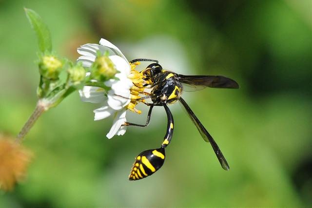 虎斑泥壺蜂 (12)