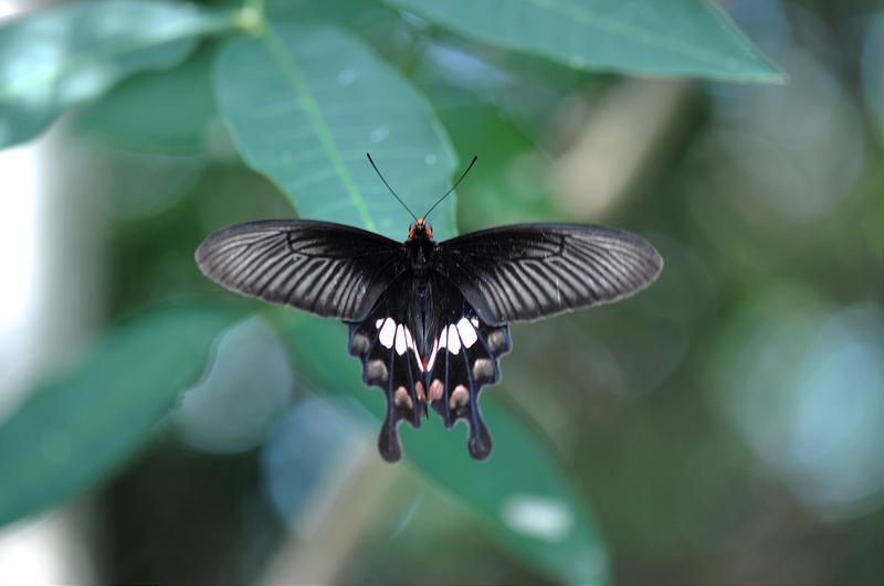 紅紋鳳蝶 (1)