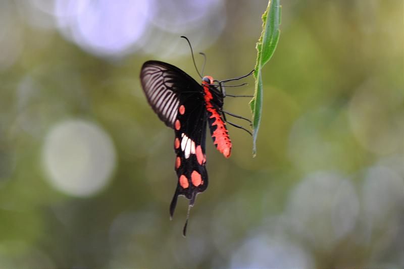 紅紋鳳蝶 (3)