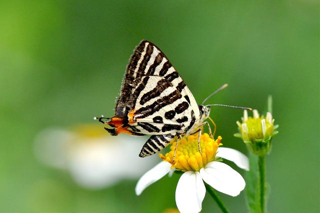 三星雙尾燕蝶 (1)