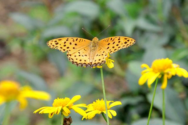 黑端豹斑蝶 (3)