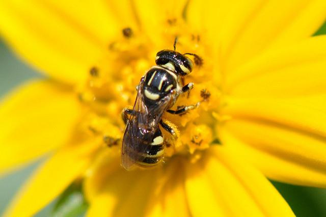 蘆蜂 (1)