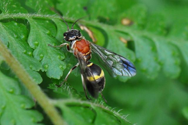 鉤腹蜂 (1)