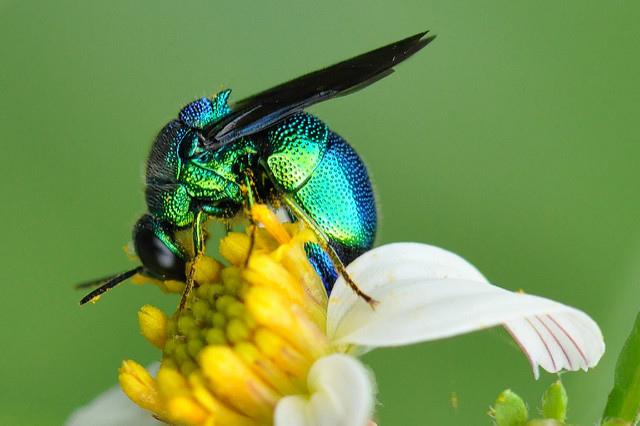 大綠青蜂 (47)