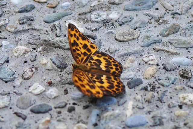 豹紋蝶 (1)
